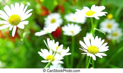 Vivid summer daisy flowers in breezy sunny day