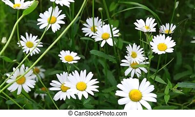 Daisy flowers in breezy day - Fresh summer daisy flowers in...