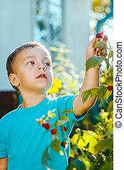 Adorable small boy eats raspberries in a garden