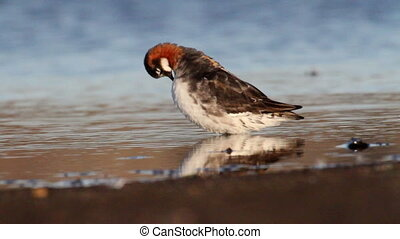 Red necked phalarope in the lake