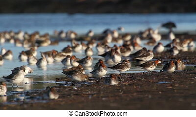 Red necked phalarope flock in Iceland