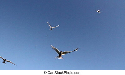 Arctic Tern flock flies over the camera