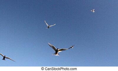 Arctic Tern flock flies over the camera