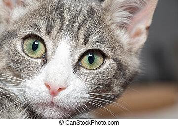portrait of a grey tiger kitten - little kitten with big...