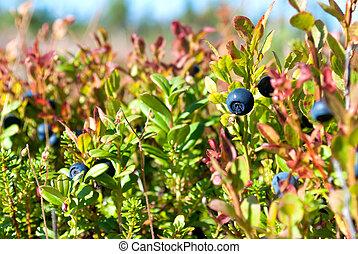 Vaccinium uliginosum bog bilberry or northen bilberry
