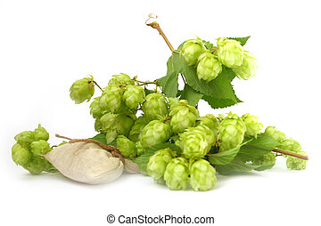 hop plant - ripe buds and leaves of wild hop plant