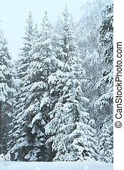 Snowy trees - Winter landscape with snowy trees Austria,...