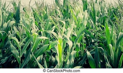 Green corn field in windy day