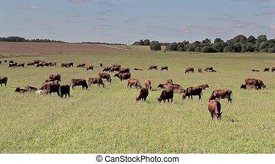Cows graze in the green meadow near