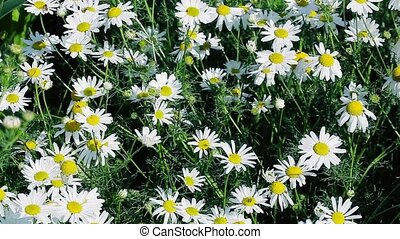 Chamomile flowers in summer