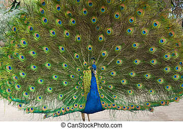 Indian Blue Peacock fully involved - Peakcock with his tail...