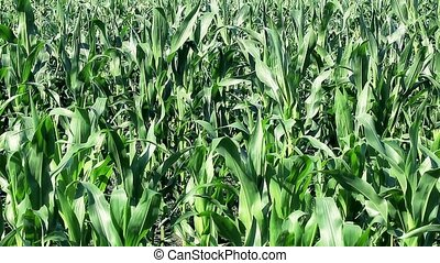 Green corn field in summer