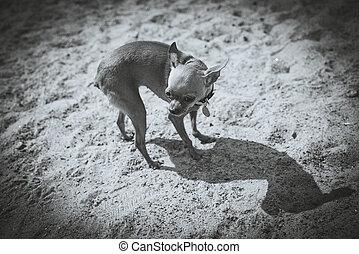játékszer, fotográfia, kutya, fekete,  Terrier, fehér