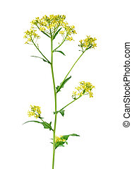 Brassica campestris flower isolated on a white background