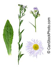 Erigeron annuus with details of leaf and bloom isolated on...