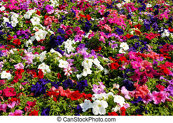 Petunia flower field - colorful blooming flowers field...