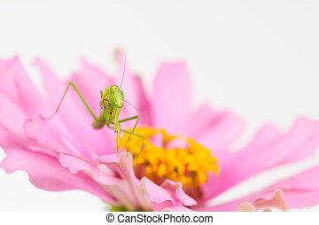 Green praying mantis cleans foreleg - Young praying mantis...