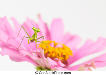 Green praying mantis nymph on flower - Small green praying...
