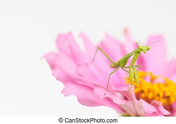 Green praying mantis - Comical and curious praying mantis...