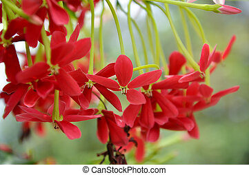 Rangoon creeper vine with red flowers and fragrant, which is...