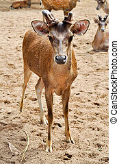 Rusa deer - Hairs of rusa deer a rough and sparse than other...