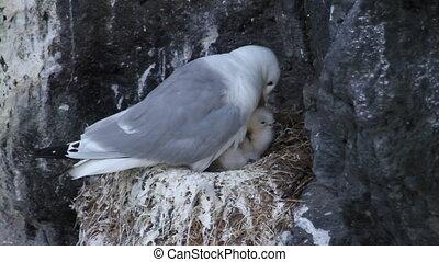 Kittiwake with her Chicks - Kittiwake taking care of her...