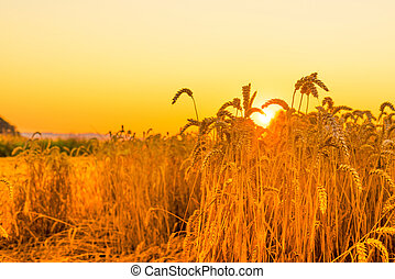 Wheat in the sunrise in the summertime