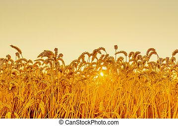 Wheat field in the sunrise