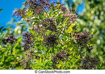 Elderberry tree with black berries in the summer