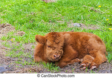 Highland Cow Calf Resting - A long haired highland cow calf...