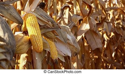 Maize ear on stalk in corn field - Harvest ready maize ear...
