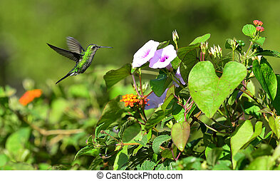 Flying Cuban Emerald Hummingbird (Chlorostilbon ricordii) -...