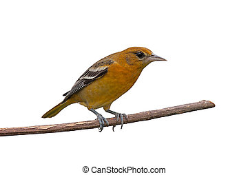 Female Oriole - Female baltimore oriole perched on a branch,...