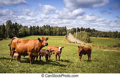 Limousin cattle - Limousin cows in a farm in Nova Scotia...