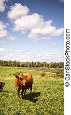 Limousin cow in a farm in Nova Scotia Canada