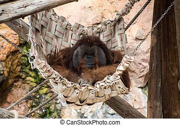 Sleeping Orangutan - Sleeping orangutan in a hammock in a...