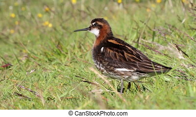 Red necked phalarope - Close up shot of Red necked phalarope...