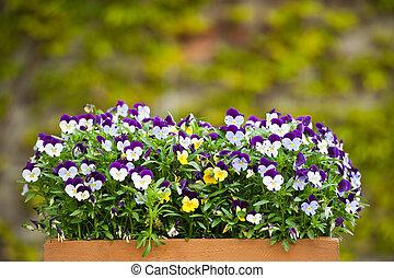 Pansies (Viola tricolor)
