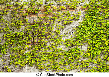 Boston ivy creeper on a wall - Boston ivy growing on a...