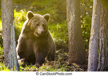 Large adult brown bear in the forest - Big brown bear in the...
