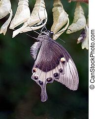Papilio palinurus leaving chrysalisVentral view Macro Asian...