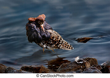 Male Ruff - A male Ruff in the mating season