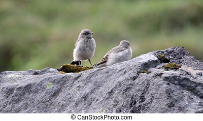 Snow bunting Birds