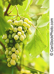 Grape of juicy delicious muscat. Abstract agriculture...