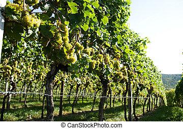 new vine harvest
