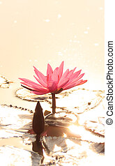 pink lotus in golden sunlight