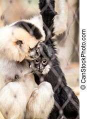 Yellow-cheeked gibbon (Nomascus gabriellae)with baby caged,...
