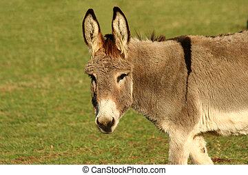 Donkey in a field - A donkey in green field