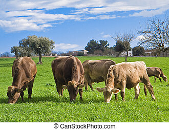 Cows grazing - These are cows in green pasture