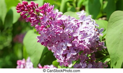 Close up view at bunchy lilac in spring - Stem of light...